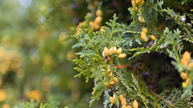 Thuja ist keine einheimische Pflanze.