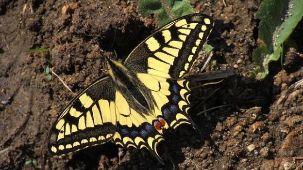 Schmetterling sitzt auf der Erde