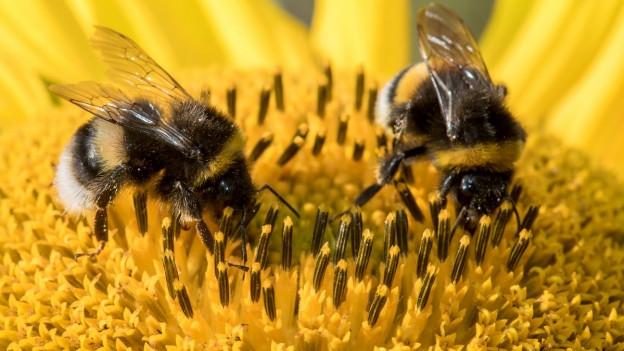 Zwei Bienen auf einer Sonnenblume in Nahaufnahme