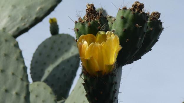 Ein Feigenkaktus mit gelber Blüte.
