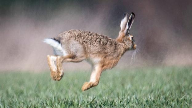 Feldhasen erreichen über kurze Distanz Geschwindigkeiten bis zu 70 km pro Stunde.