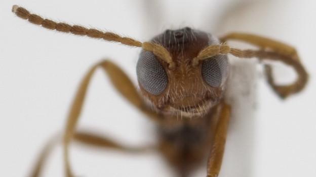 Kopf einer Braconidae