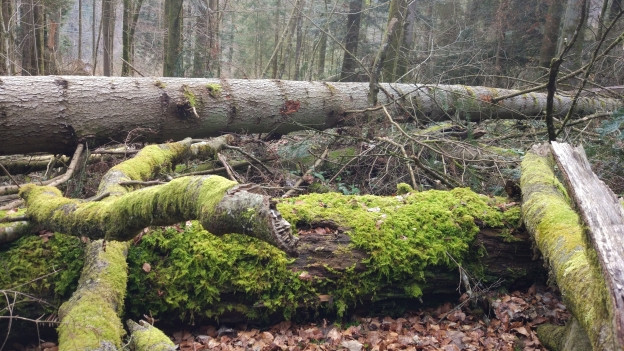 Fall -und Totholz-Lebensraum vieler Tiere im Wald.