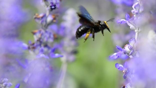 Eine Wildbiene im Anflug einer Blüte