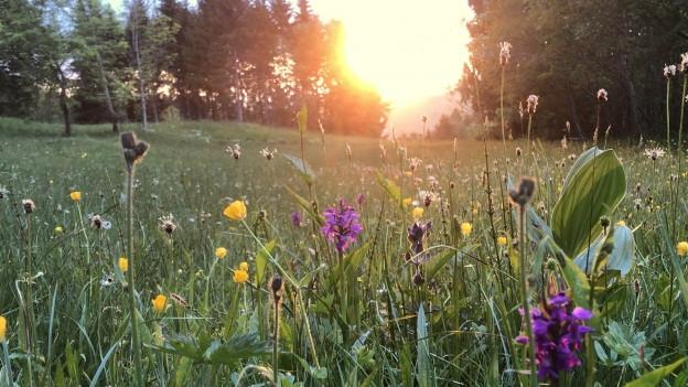 Trollblumen mit Sonnenuntergang im Hintergrund
