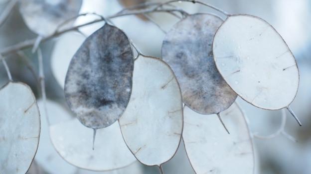 Kreisrunde, grau-weisse Samen der Mondviole.