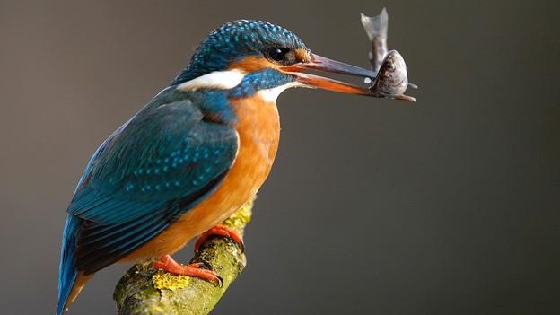 Ein Eisvogel mit einem Fisch im Mund