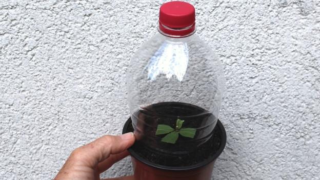 Bild von einem Steckling mit einer PET-Flasche überstülpt.