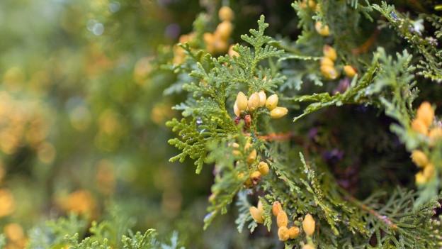 Auch wenn die Thuja schön blüht, für hiesige Vögel und Insekten ist sie uninteressant.