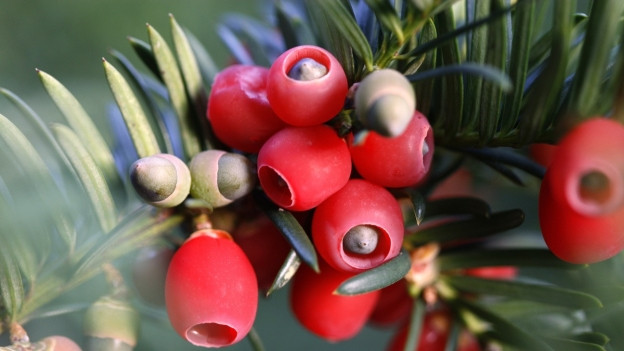 Grosse rote Beeren an einem grünen Ast.