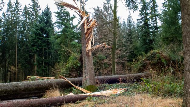 Von Sabine umgeknickte Bäume im Kanton ZH