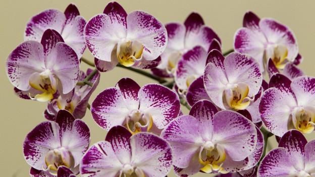 wie lange blühen orchideen