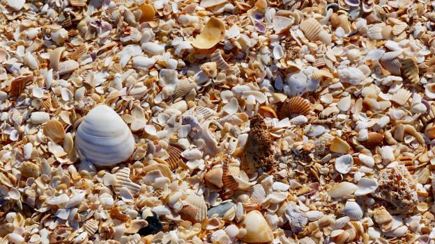 Tausende von Muschelschalen liegen am Strand.