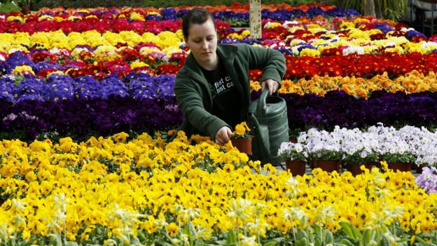 Frau giesst Blumen in einem Blumenfeld.