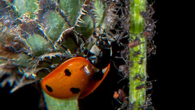Marienkäfer an Pflanze mit Läusen.