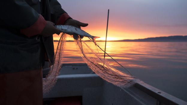 Frühmorgens fischt ein Fischer seine Fische im See.