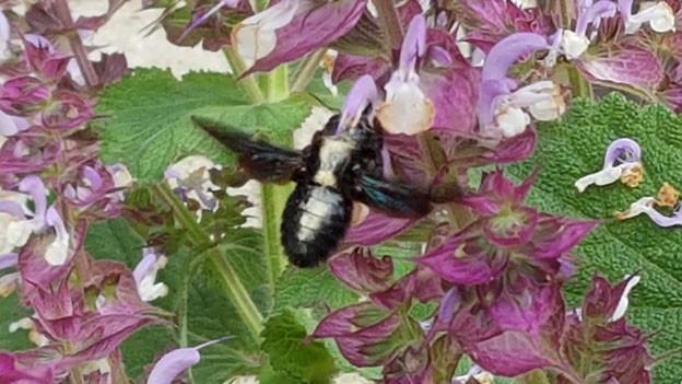 Dunkle Holzbiene auf mit weissem Blütenstaub auf dem Rücken an Muskatellersalbei mit violett-weissen Blüten..
