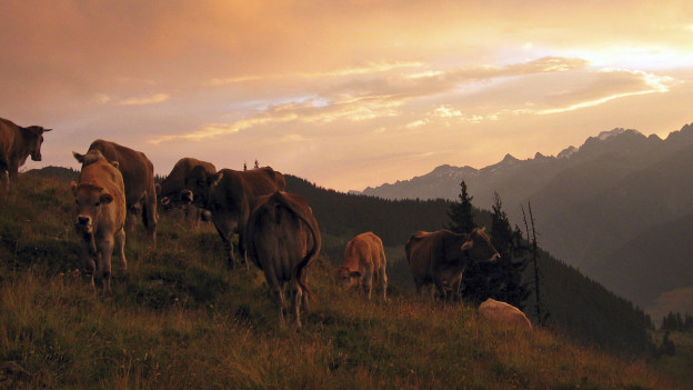 Mutterkühe und ihre Kälber kurz vor dem Einnachten auf der Weide einer Bündner Alp.