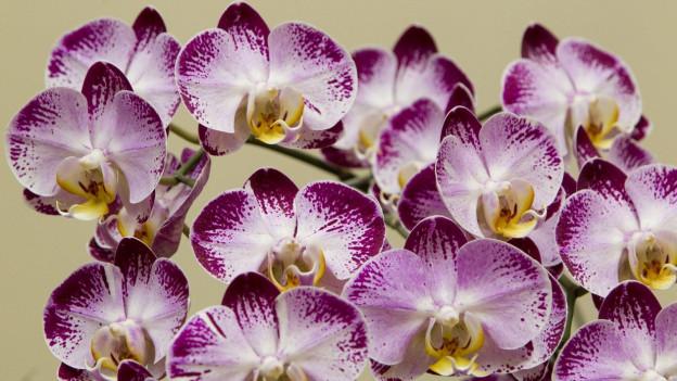 Phalaenopsis oder Schmetterlingsorchideen.