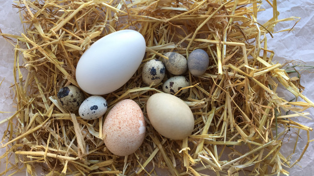 Verschiedene Eier auf Stroh - vom Gänseei, Trutenei, Entenei bis zum Wachtelei.