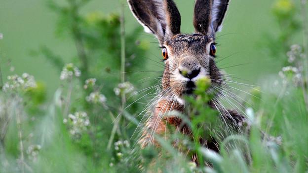 Ein Hase in Ungarn.