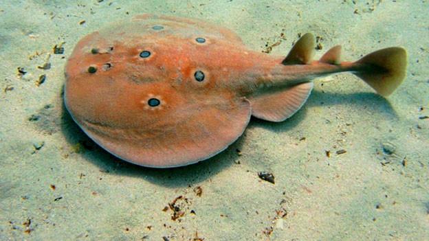 «Torpedo torpedo» heisst der flache Fisch mit dem spitzen Schwanz, der ungefähr die Form einer kleinen Bratpfanne hat.