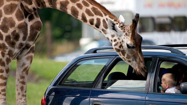 «Safari» heisst übersetzt schlicht und einfach «Reise».