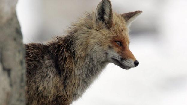 Der Fuchs: in der Stadt und unserem Wortschatz.