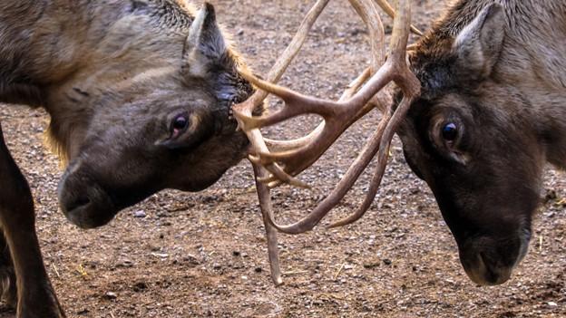 Zwei Hirsche kämpfen.