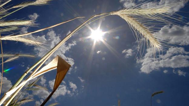 Sonne hinter einem Kornfeld