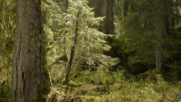 Urwald in der Innerschweiz.