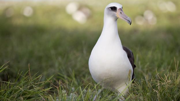 Ein Albatross auf einer Wiese