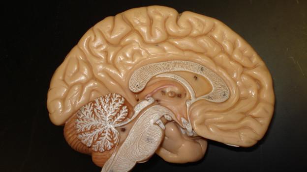 Modell eines menschlichen Hirns.