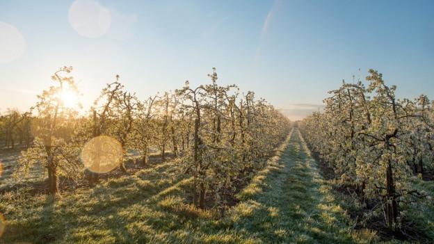 Frost hängt an Obbstbäumen.