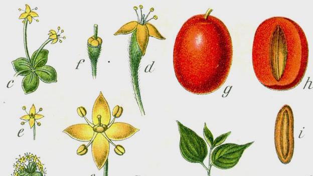 Botanische Zeichnung