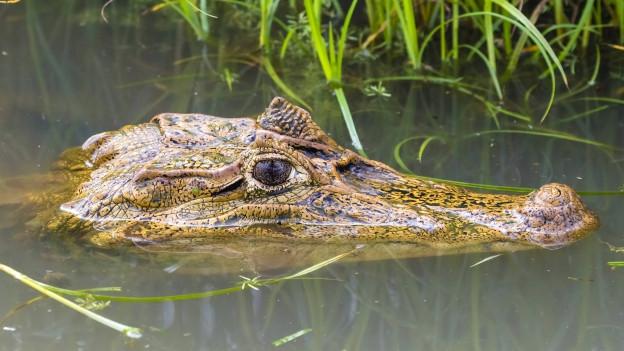 Ein Krokodil treibt im Wasser
