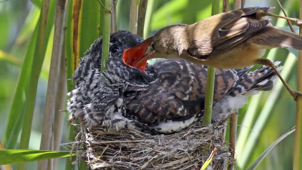 Ein kleiner Vogel füttert einen Kuckuck