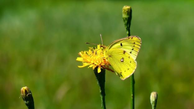 Ein gelber Schmetterling auf einem Grashalm vor grünem Hintergund.