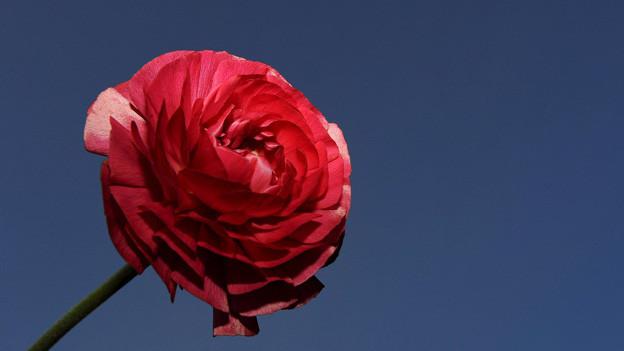 Sehnsüchtig haben wir auf ihn gewartet, doch «nur am Rande vermerkt» hat ihn Luise Kaschnitz in ihrem Gedicht: Der Hahnenfuss.
