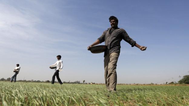 Ein indischer Bauer verteilt Dünger auf seinem Feld.