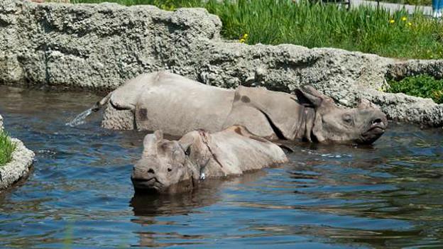 Der Basler Zoo führt das internationale Zuchtbuch für Panzernashörner.