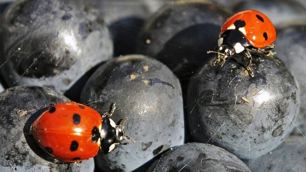 Marienkäfer auf dunklen Trauben.