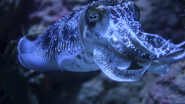 Der Tintenfisch im «Fischglas»