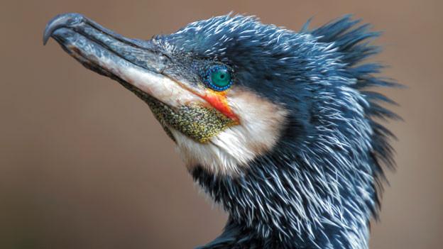 Der Kormoran war in Deutschland und Österreich Vogel des Jahres 2010.