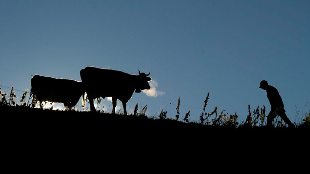 Ein Bauer geht neben zwei Kühen