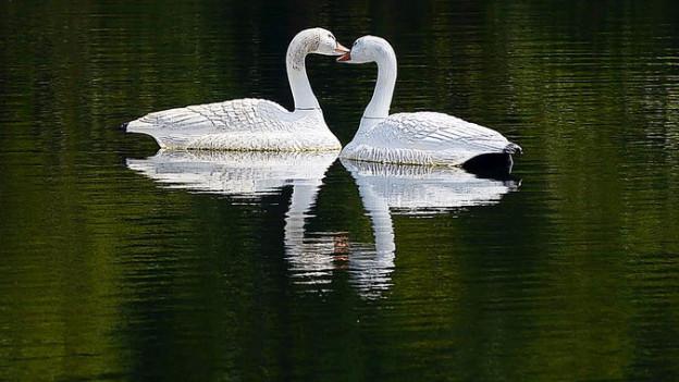 Schwäne auf einem See: Die Hälse bilden ein Herz.