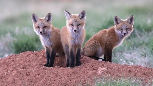Drei Füchse auf einem Hügel.