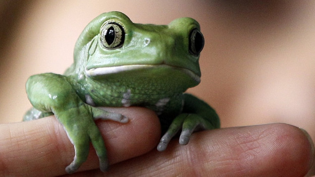 Ein kleiner grüner Frosch auf einer Hand.