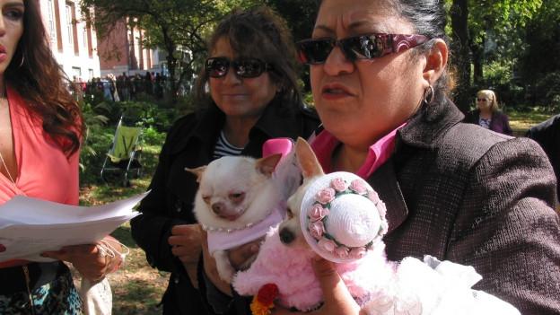 Kostümierte Chihuahuas.