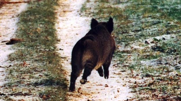 Wildschwein in der Schweiz